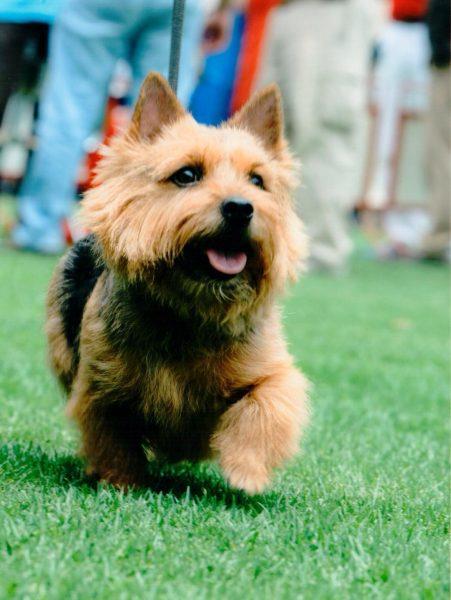 Norwich Terrier <br> Andrés Villalobos