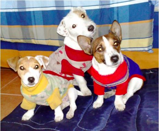 Jack Russell Terrier <br> Julián  Hernández