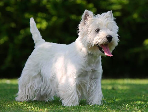 West Highland White Terrier <br> Bernardo Navia