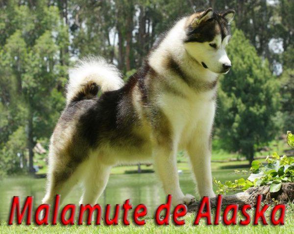 Malamute de Alaska <br> Julián Hernández