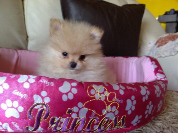 Pomeranian <br> María Benitez