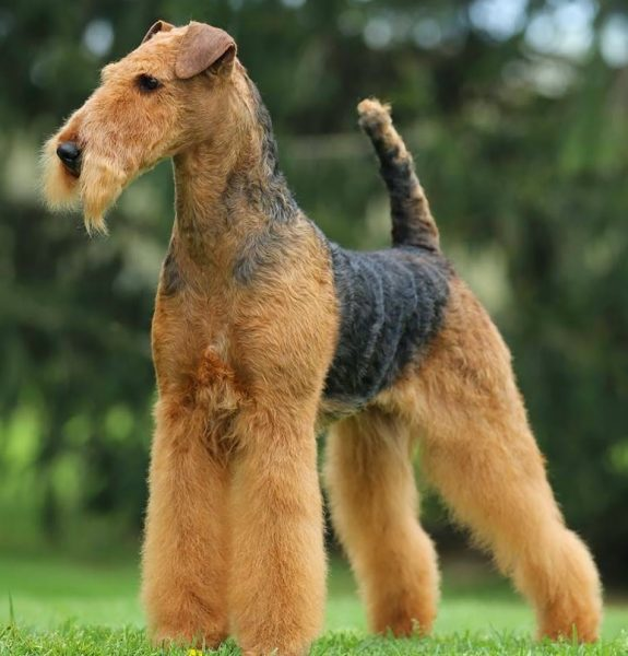 Airedale Terrier <br> Luis Navia
