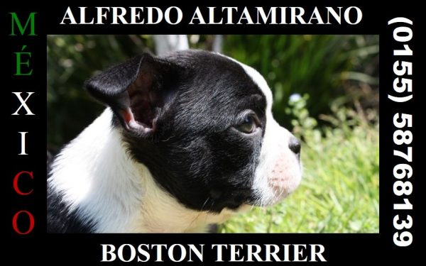 Boston Terrier <br> Alfredo Altamirano
