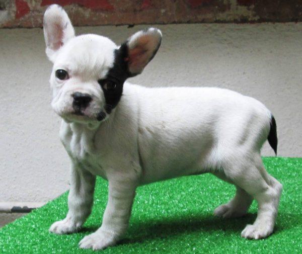 Bulldog Francés <br> Anarbol Pérez
