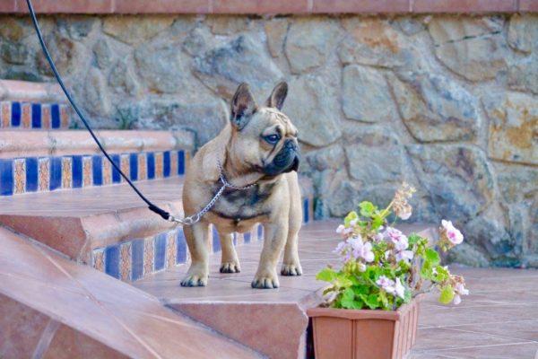 Bulldog Francés <br> Karina Grande