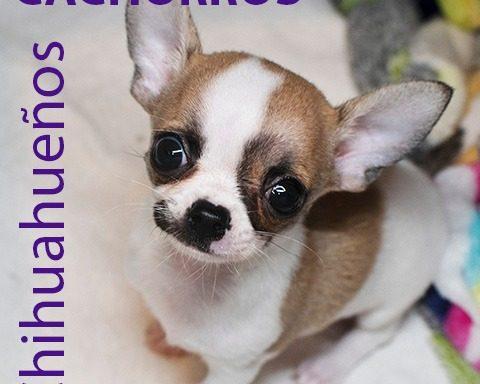 Chihuahueño