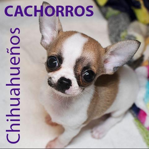 Chihuahueño <br> Karla Cárdenas