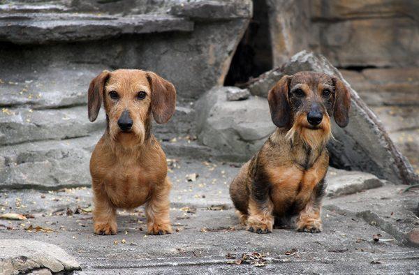 Dachhund Miniatura <br> Tete Nevarez
