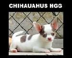 Chihuahuas HGG