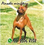Pinscher Miniatura <br> Arturo Marín
