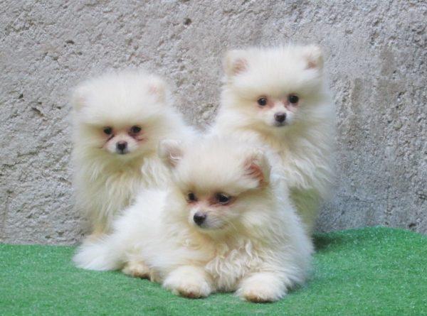 Pomeranian <br> Anarbol Pérez