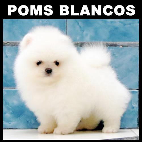 Pomeranian <br> Saúl García