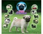 Pug Beracas