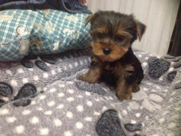 Yorkshire Terrier <br> Estrella Moreno