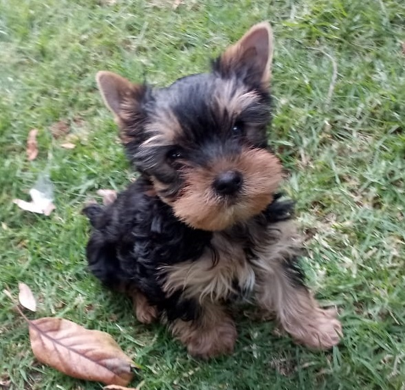 Yorkshire Terrier <br> Francisco Mendoza