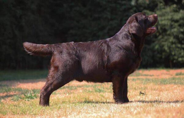 Cobrador de Labrador